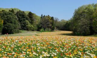 約70万本・8,000㎡のアイスランドポピー花畑(国営武蔵丘陵森林公園)※2021年4月7日撮影