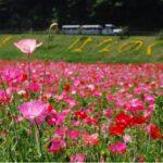 約100万本のポピー園(横須賀市くりはま花の国)